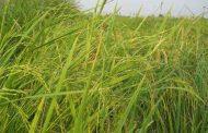 پوست ومو وبدن جوان با مصرف صحیح برنج